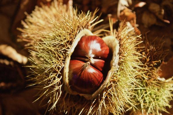 cncfs frutos secos castanha